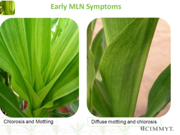 MLN early symptoms 2