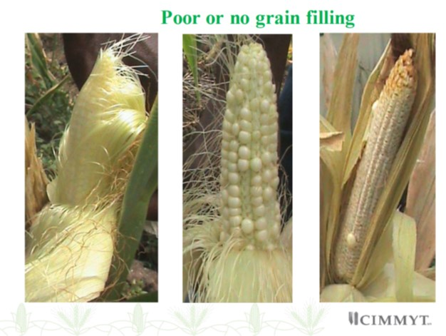 MLN poor grain filling