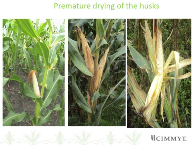 MLN premature drying of husks