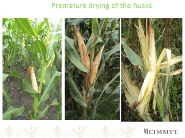 MLN premature drying of husks
